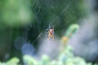 Kreuzspinne#6 - Spinne, Kreuzspinne, Spinnennetz, Webspinne, Radnetzspinne, Netz