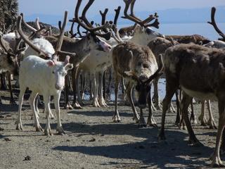 Rentiere  - Nordnorwegen, Norwegen, Rentiere, Rentier, Herden, Herde, vorwitzig, scheu