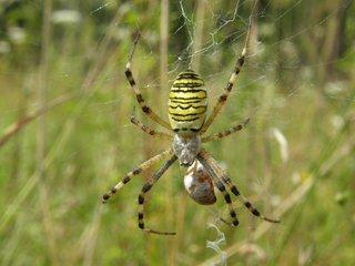 Wespenspinne - Wespenspinne, Spinne, Spinnennetz