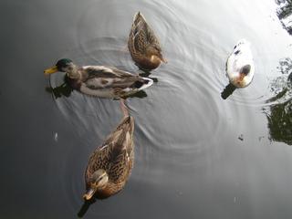 Vier schwimmende Stockenten  - Ente, Stockente, vier, Wasser, Tiere, Enten, schwimmen, Wasservogel