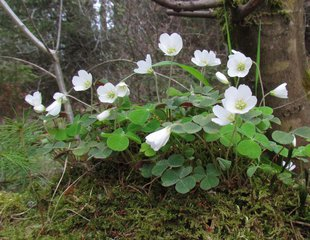 Sauerklee - Sauerklee, Blüte, Klee, krautige Pflanze, Blütenstand