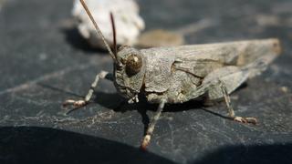 Rotflügelige Ödlandschrecke #2 - Heuschrecken, Feldheuschrecken, Rotfluegelige Oedlandschrecke, Oedipoda germanica