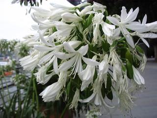 Schmucklilie - Schmucklilie, Amaryllisgewächs, Liebesblume, Blüte, Dolde, Zierpflanze, Agapanthus, Doldenlilie
