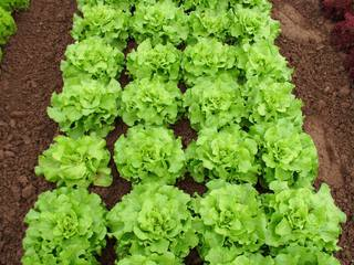 Kopfsalat #2 - Salat, Beet, Kopfsalat, Salatköpfe, zwanzig, Häuplsalat, Häuptelsalat, Häupelsalat