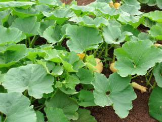 Kürbis - Kürbis, Blatt, Blüte, Beet, Frucht, Garten