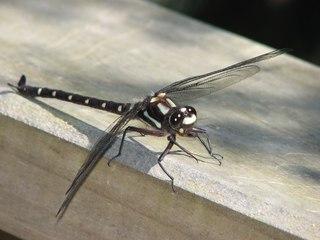 Libelle - Libelle, Insekten, Libelle, Flügel, Hautflügel, Gliederfüßler, Insekt, Flügelpaar