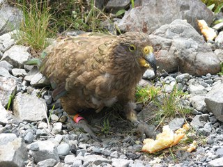 Kea, frecher Papageienvogel aus Neuseeland - Kea, Papagei, Neuseeland