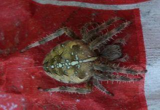 Gartenkreuzspinne #2 - Spinne, Kreuzspinne, Webspinne, Radnetzspinne