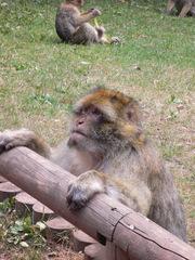 Berberaffe - Affe, Berberaffe, Magot, Primate, Backentaschenaffe