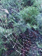 Spinnennetz mit Regentropfen#2 - Spinne, Spinnennetz, Regentropfen