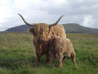 Schottisches Hochlandrind - Schottland, Highland Cattle, Highlands, Rasse, Kyloe, Schottisches Hochlandrind, Rind, Wiederkäuer, Hörner, zottelig