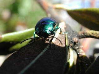 Käfer - Käfer, Insekten, Fühler, Blatt, krabbeln, schillern, glänzen, Insekt