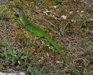 Westliche Smaragdeidechse (Lacerta bilineata) - Smaragdeidechse, Eidechse, Männchen, Prachtkleid, Balzkleid, Reptil