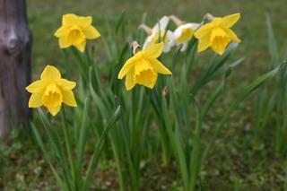 Märzenbecher - Blume, Narzisse, Osterglocke, Märzenbecher, gelb, Garten, März, Frühling, Frühblüher, Zwiebel