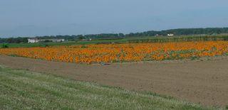 Kürbisfeld  #1 - Kürbis, Gartenpflanze, Pflanze, Kürbisgewächs, Gemüsekürbis, Gartenkürbis, Feldfrucht