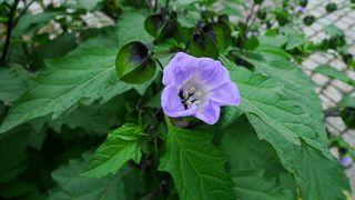 Blaue Lampionblume - blau, Blüte, Lampionblume, Nicandra physalodes, Nachtschattengewächs