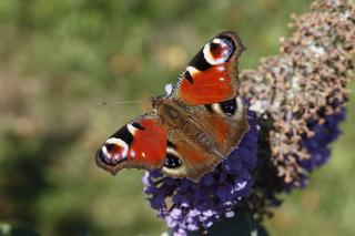 Schmetterling  Tagpfauenauge - Tagpfauenauge, Insekten, Schmetterlinge, Edelfalter, Fleckenfalter, Inachis io