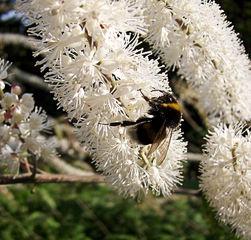 Hummel auf einem Schneeflockenstrauch - Hummel, Insekt, Blüte, Nektar, saugen, fliegen, Bombus, Biene, Hautflügler, Stechimme, Wehrstachel, Wehrimme