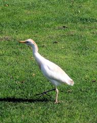 Kuhreiher #1 - Kuhreiher, Reiher, Bubulcus ibis, Schreitvogel, Vogel, weiß, orange, Schnabel