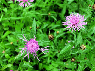 Flockenblume #1 - Flockenblume, Wiesenflockenblume, Korbblütler, Blüte, Blume, Wiesenblume, Natur, rosa