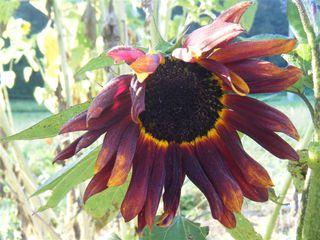 Sonnenblume - Sonnenblume, Blume, Spätsommer, Herbst, Korbblütler, Blüte, verblüht, welken