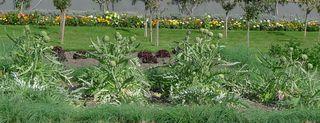 Artischockenpflanzen - Artischocke, Kulturpflanze, distelartig, Korbblütler, Schuppenblätter, Blütengemüse, Heilpflanze, Knospe, Blütenstand, Nahrungsmittel