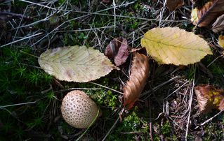 Bovist - Fruchtkörperform, Kugelpilz, Bovist, Sporen
