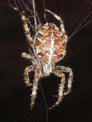 Spinne im Netz - Tier, Spinne, Spinne im Netz