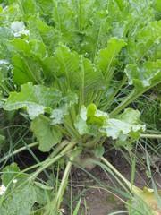 Zuckerrübe 2 - Rübe, Zucker, Zuckerrübe, Zuckerpflanze, Beta vulgaris, Fuchsschwanzgewächs, Kulturpflanze, Futterpflanze
