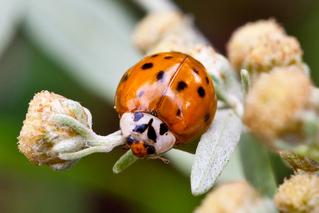 Marienkäfer - Marienkäfer, Insekten, Glück, Symbol, Käfer, Coccinellidae, Rot