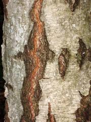 Rinde der Birke - Birke, Rinde, Birkenrinde, Stamm, Detail