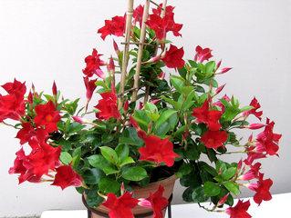 Mandevilla #1 - Mandevilla, Kletterpflanze, Liane, ranken, Kübelpflanze, Balkonpflanze, Hundsgiftgewächs, giftig, Milchsaft, Blüte, Blüten, rot, Sommer