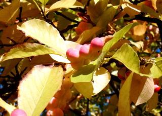 Magnolie - Frucht #2 - Magnolie, Ziergehölz, Samenpflanze, Bedecktsamer, Frucht, Fruchstand, Samen