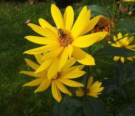 Blüte mit Biene - Blume, Blüte, gelb, Biene