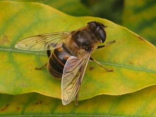 Schwebfliege von oben - Insekt, Schwebfliege, Körper, Körperteile, Flügel, Flügelpaar, Hinterleib, Beine, Fußglieder, Kopf, Augen, Komplexaugen, Hautflügler, Detail