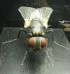 Stubenfliege Vorderansicht - Insekten, Fliege, Stubenfliege, Facettenaugen