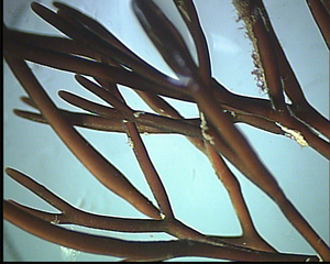 Alge (Polyides rotundus) - Algen, Ostsee, Meer, Polyides rotundus