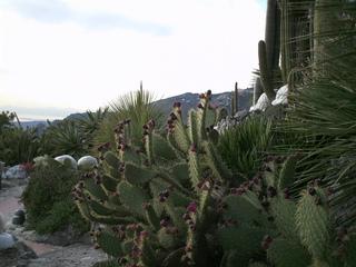Feigenkaktus - Kaktus, Kakteen, Opuntien, Feige, Frucht, exotisch, Ohrenkaktus, Feigenkaktus, Kaktusfeigen, Früchte, Blüte, Sprossteile, Ohren, Stacheln