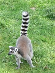 Lemur - Katta, Primat, Lemur, Affe, Maki, Madagaskar, Allesfresser, Feuchtnasenaffe