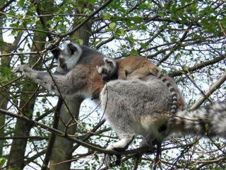 Lemur mit Nachwuchs - Katta, Primat, Lemur, Affe, Maki, Madagaskar, Allesfresser, Feuchtnasenaffe, Nachwuchs, Junges, Baby, Jungtier