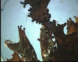 Alge (Mastocarpus stellatus) - Algen, Mastocarpus stellatus, Ostsee, Alge, Meer