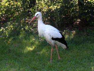 Weißstorch #2 - Weißstorch, Zugvogel, Storch, Federn, weiß, schwarz, Schnabel, klappern, Wiese, schreiten, gehen, Schreitvogel, Adebar, Vogel