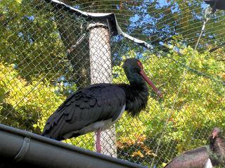 Schwarzstorch #3 - Schwarzstorch, Zugvogel, Ciconia, Storch, Federn, schwarz, Schnabel, klappern, Wiese, schreiten, gehen, Schreitvogel