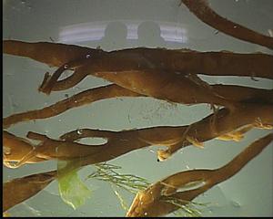 Alge (Halidrys siliquosa) - Algen, Ostsee, Halidrys siliquosa, Meer