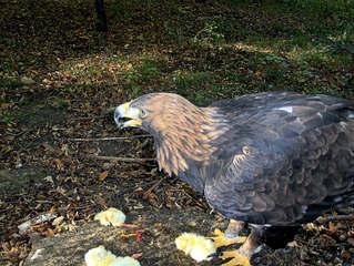 Adler #1 - Adler, Greifvogel, Wappentier, Fütterung, Futter, Küken, Federn, Federkleid, schwarz, braun