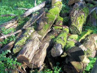 Totholz #3 - Totholz, Biotop, Biotopschutz, Artenschutz, Moderholz, absterbend, tot, Holz, Baum, Ast, Äste, Baumstumpf, wertvoll, Käfer, Insekten, Pilze, Baumpilze, Moos, Zersetzung, Organismus, verrotten, Flechten, Alter, Zerfall, Habitat