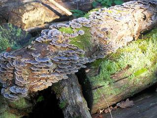 Totholz #4 - Totholz, Biotop, Biotopschutz, Artenschutz, Moderholz, absterbend, tot, Holz, Ast, Baum, Baumstumpf, wertvoll, Käfer, Insekten, Pilze, Baumpilze, Moos, Zersetzung, Organismus, verrotten, Flechten, Alter, Zerfall, Habitat