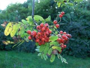 Vogelbeeren - Vogelbeeren, Eberesche, Bäume, Beeren, Herbst