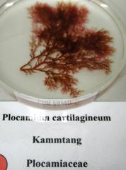 Kammtang - Algen, Rotalgen, Kammtang, Alge, Tang, Meer