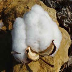 Baumwolle #03 - Baumwolle, Cotton, Samenhaare, Naturfaser, Malvengewächs, Faser, Textilien, Textilfaser, Nutzpflanze, Agrarwirtschaft, Landwirtschaft, Zellulose, Chemie